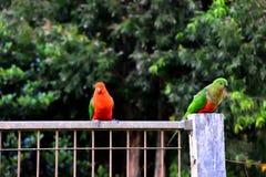 Re Parrots Flirting fotografie stock