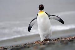 Re Penguin fotografia stock libera da diritti