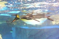Re Penguin fotografia stock