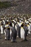 Re Penguin Colony Fotografie Stock Libere da Diritti