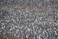 Re Penguin Colony Immagini Stock