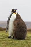 Re Penguin (patagonicus dell'aptenodytes) che lo alimenta è pulcino in Immagine Stock