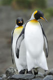 Re Penguin (patagonicus dell'aptenodytes) che sta sulla spiaggia Immagini Stock
