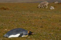 Re Penguin Rests su un allevamento di pecore - Falkland Islands Fotografia Stock Libera da Diritti