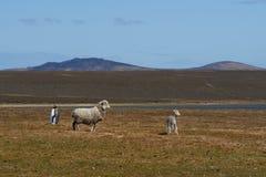 Re Penguin su un allevamento di pecore - Falkland Islands Fotografia Stock Libera da Diritti