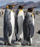 Re Penguin Tre pinguini di re che socializzano su una spiaggia fotografie stock