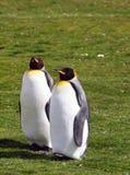 Re Penguins Immagini Stock
