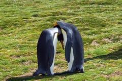 Re Penguins Immagine Stock