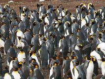 Re Penguins Fotografia Stock Libera da Diritti