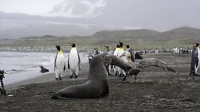Re Penguins con le guarnizioni stock footage
