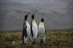Re Penguins Courtship Ritual alla baia di Fortuna Immagini Stock Libere da Diritti