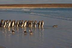 Re Penguins Going al mare fotografia stock