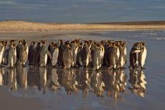 Re Penguins Going al mare immagini stock