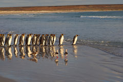 Re Penguins Going al mare fotografie stock