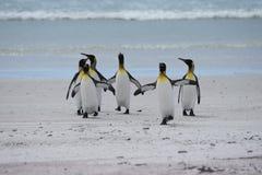 Re Penguins nel punto volontario, Falkland Islands fotografia stock libera da diritti
