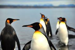 Re Penguins nel Sudamerica Immagine Stock