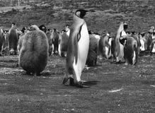Re Penguins a punto volontario, Falkland Islands Islas Malvinas fotografia stock
