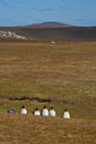 Re Penguins su un allevamento di pecore - Falkland Islands Fotografie Stock Libere da Diritti