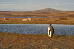 Re Penguins su un allevamento di pecore - Falkland Islands Fotografia Stock