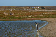 Re Penguins su un allevamento di pecore - Falkland Islands Fotografia Stock Libera da Diritti