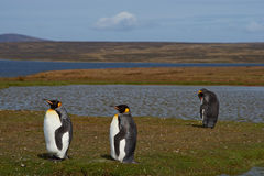 Re Penguins su un allevamento di pecore - Falkland Islands Fotografie Stock