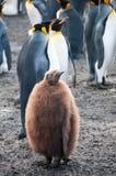 Re Penguins sul porto dell'oro Immagini Stock