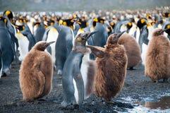 Re Penguins sul porto dell'oro Immagine Stock