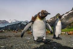 Re Penguins sul porto dell'oro fotografie stock