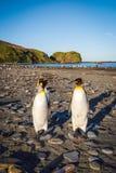 Re Penguins sulla spiaggia alla st Andrews Bay - polare immagine stock