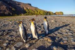 Re Penguins sulla spiaggia alla st Andrews Bay - polare fotografie stock