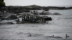 Re Penguins sulla spiaggia stock footage