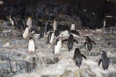 Re Penguins sulla vista bianca della neve Fotografie Stock
