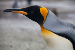 Re Penguins sulle pianure di Salisbury fotografia stock libera da diritti