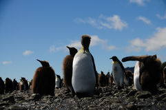 Re Penguins sulle pianure di Salisbury immagini stock libere da diritti