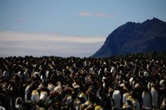 Re Penguins sulle pianure di Salisbury fotografie stock