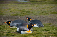 Re Penguins sulle pianure di Salisbury fotografie stock libere da diritti