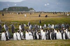 Re Penguins sulle pianure di Salisbury immagini stock