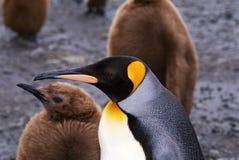 Re Penquin con il pinguino del bambino Fotografie Stock Libere da Diritti