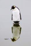 Re solo Penguin su una roccia Immagini Stock Libere da Diritti