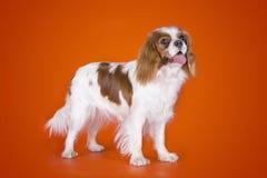 Re sprezzante Charles Spaniel del cucciolo sull'arancia ha isolato il backgroun Immagini Stock Libere da Diritti