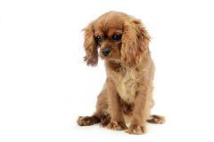 Re sprezzante Charles Spaniel del cucciolo sveglio che si siede e che guarda dow Fotografia Stock