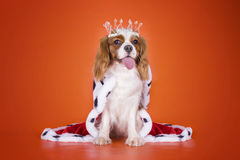 Re sprezzante Charles Spaniel del cucciolo in un vestito della regina sopra o Immagini Stock Libere da Diritti