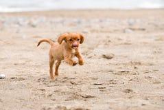Re sprezzante Charles Spaniel Puppy immagini stock libere da diritti