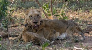 Re-united. Female lion greeting cubs after returning from hunting Stock Image