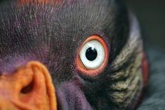 Re Vulture Fotografie Stock Libere da Diritti