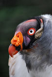 Re Vulture Immagine Stock