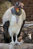 Re Vulture Immagini Stock
