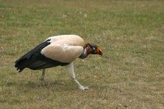 Re Vulture Immagine Stock Libera da Diritti