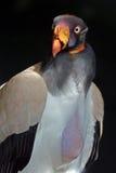 Re Vulture Immagini Stock Libere da Diritti