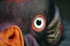 Re Vulture Fotografia Stock Libera da Diritti